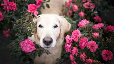 wallpaper golden retriever roses hd  animals