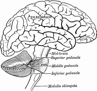 Brain Coloring Human Pages Worksheet Printable Diagram