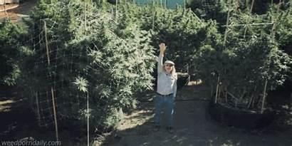 Weed California Cannabis Outdoor Marijuana Growing Grow