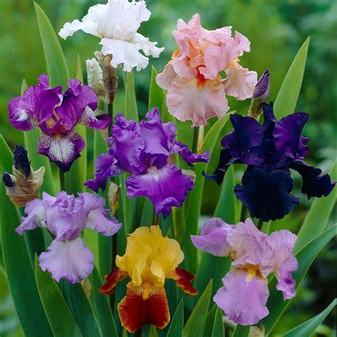 bloomsz allium mount everest flower bulb 2 pack 07497
