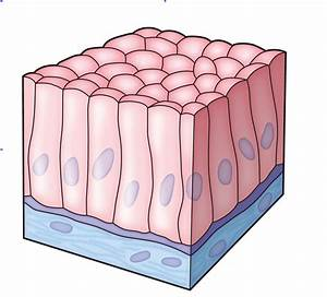 Animal Tissues