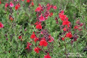 Magenta Red Texas Sage - LandscapeResource.com