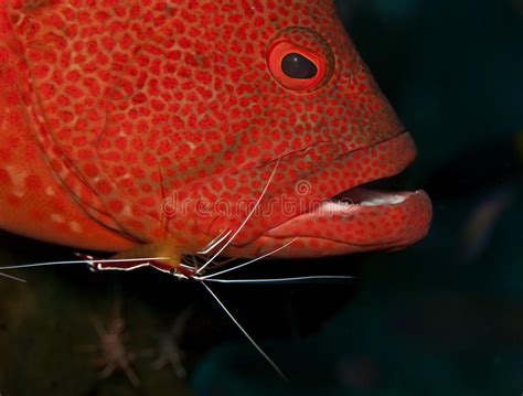 grouper cleaning station cleaner animals preview