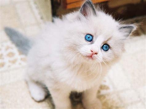 jenis kucing populer  indonesia  kucingorg