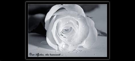 trauerkarte rose fuer trauer