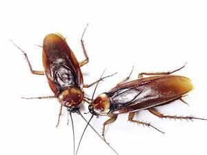 Wie Sehen Kakerlaken Aus : cockroach control southbank cafe pest control empire ~ Watch28wear.com Haus und Dekorationen