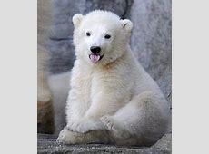 cute baby polar bear Tumblr