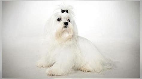 maltese dog breed history   interesting facts