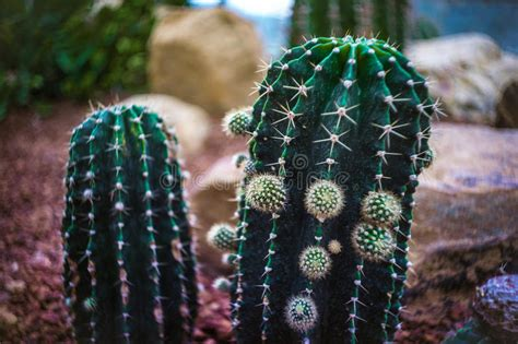 Green Cactus In Plant Nursery Northern Thailand Stock ...