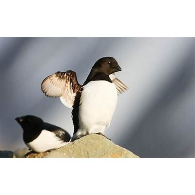Killer whales or 'snow birds'? - WWF-Canada Blog