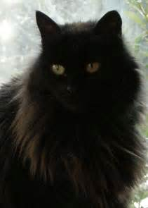 haired black cat haired black cats search engine at search