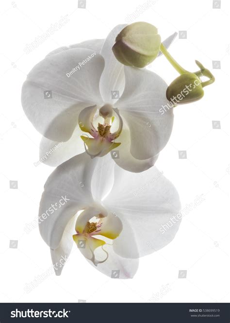 Incredible White Orchids Flowers Isolated On Stock Photo
