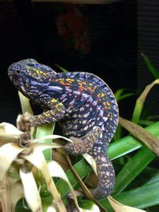 carpet chameleon facts lifespan care feeding
