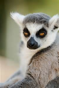 Madagascar Animals Lemurs