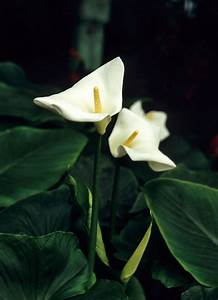 My Peace Lily Won't Flower - How To Get A Peace Lily Plant ...