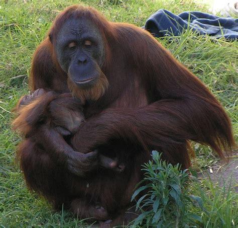 orangutan psychology wiki fandom powered by wikia