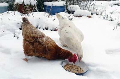 faut il prot 233 ger les poules du froid en hiver