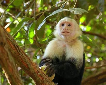 Monkey Capuchin Wild Funny Animals Pets Tree