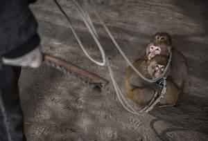 Chinese New Year: Cruel practice of 'monkey training' in ...