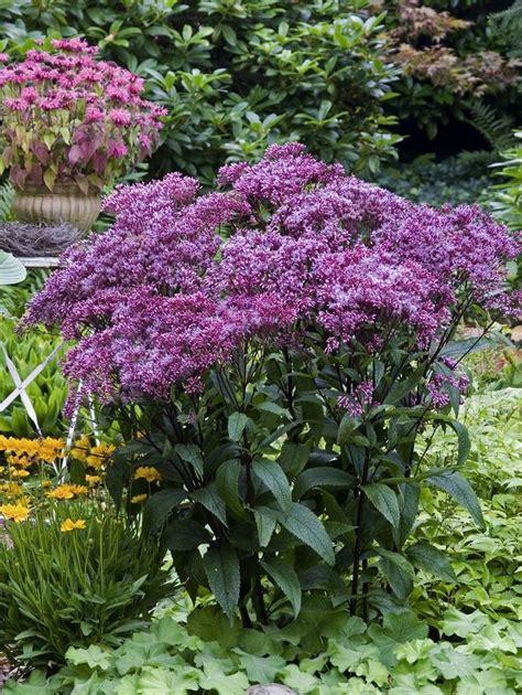perennial shrubs sun 1000 images about full sun flowers on pinterest gardens delphiniums and sun