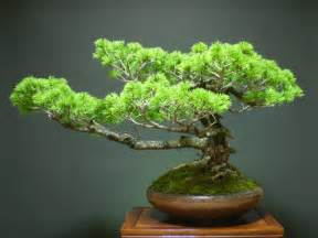 Japanese Garden Bonsai Tree