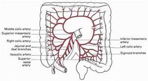 Branches Of Superior Mesenteric Artery | www.pixshark.com ...