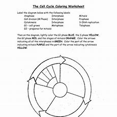 Cell Cycle Drawing Worksheet At Getdrawingscom  Free For Personal Use Cell Cycle Drawing