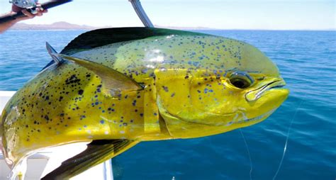 top  saltwater game fish prized  offshore anglers