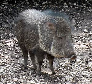 peccary - definition - What is
