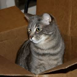 gray tabby cat gray tabby cat in cardboard box picture free photograph