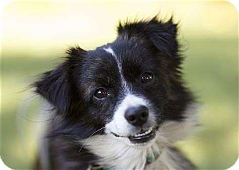 jeopardy adopted dog ile perrot qc papillonsheltie