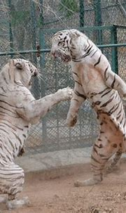 White tiger cubs maul keeper to death in Bangalore's ...