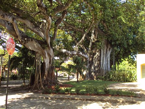 large ficus tree sweet ficus trees the coral gables 3651