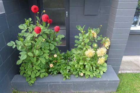dahlia pod easy edible gardening