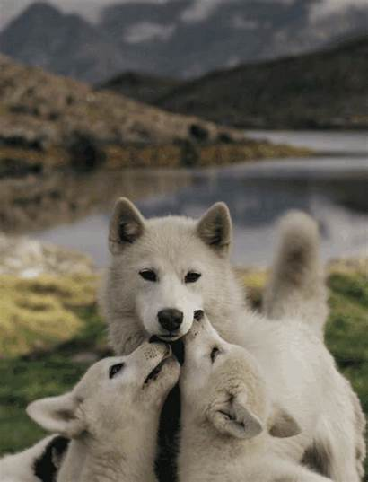 Wolf Had Animals Wolves Fresher Breath Moments