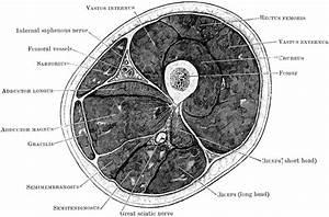 Transverse Section Through Thigh