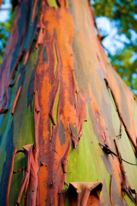 eucalyptus deglupta  tumblr