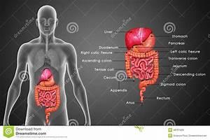 Digestive System Stock Illustration  Illustration Of