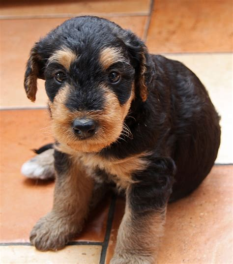 airedale terrier non shedding list of dogs that don t shed much what every deserves