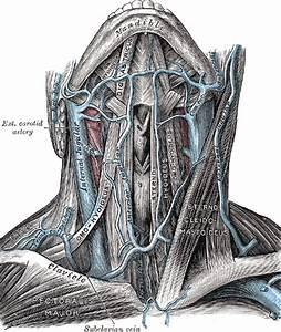 Brachiocephalic Veins  Innominate Veins