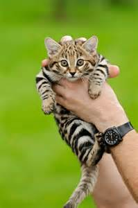 black footed cat carlo s and cuddly critters felis nigripes are the