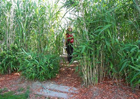 China Garten Pflanzen by Spielplatz Im Riesengras Versteckete Wege Bambus Chinaschilf