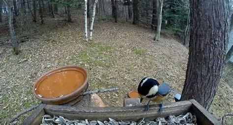 Feeder Live by Bird Feeder Birdcams