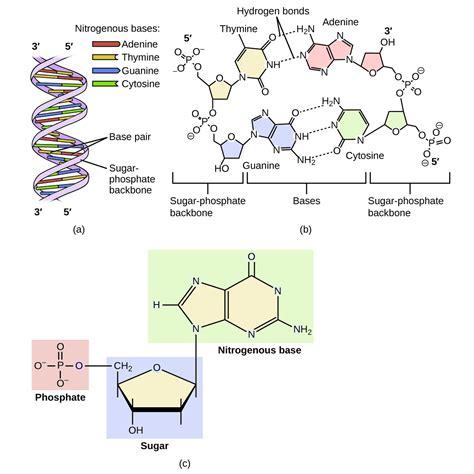 5 Prime Dna Diagram Labeled