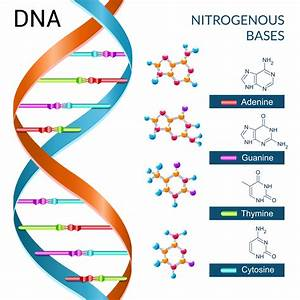 Ladder Diagram Dna Base
