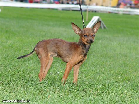 Suņu šķirnes daudz - Spoki - bildes 42