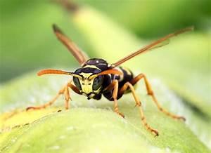 Was Tun Gegen Wespen Im Kirschlorbeer : basilikum wespen vertreiben wespe nahaufnahme auf holz ~ Lizthompson.info Haus und Dekorationen