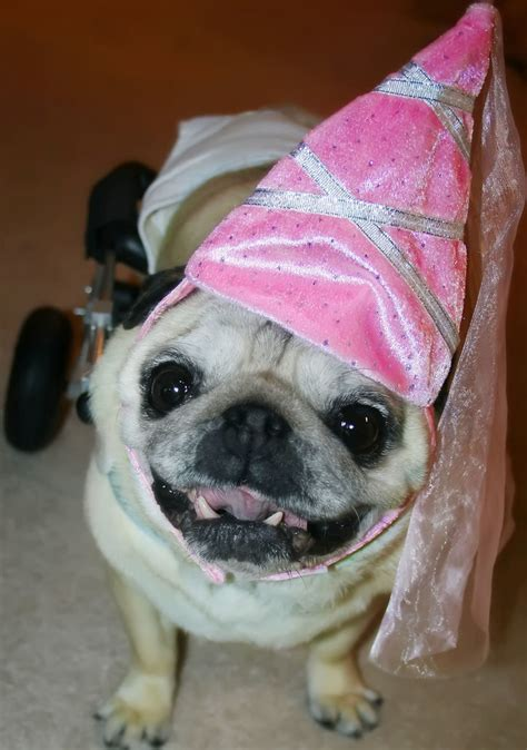 pug princess  wheels shes  silly        flickr