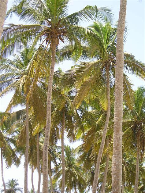 plant dwarf coconut trees garden guides