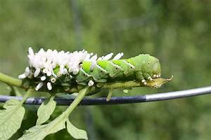 How to Control and Prevent Hornworms